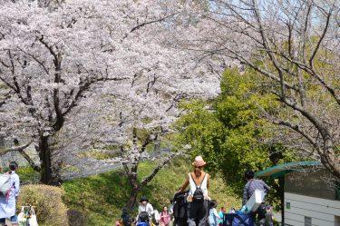 桜満開のこどもの国でBEST桜ソングを決定したい